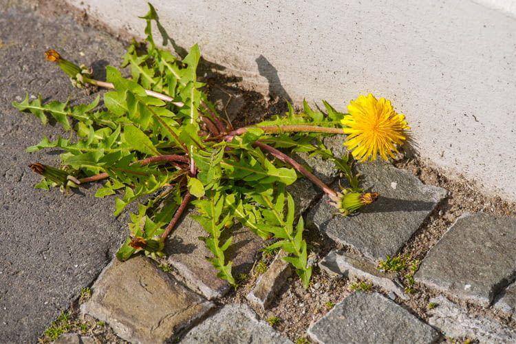 Unkrautbildung und verwilderte Rasenflächen erwecken den Eindruck längerer Abwesenheit