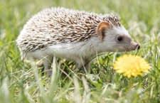Der Igel ist ein nützlicher Gartenmitbewohner - allerdings benötigt er Schutz vor Mährobotern